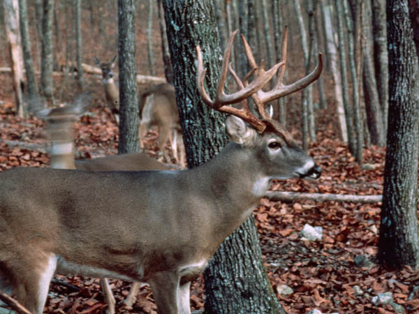 Tree Stand And Stalk Hunt For Buck Deer