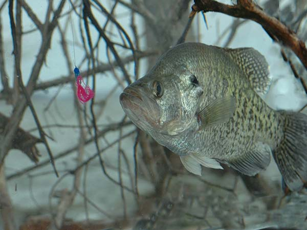 Catch Crappie All Year With Guide Steve Mccadams